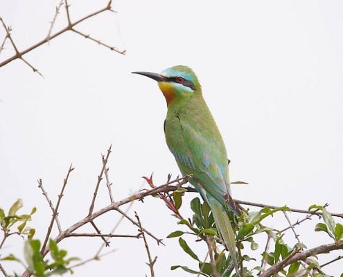 Iran Birding Tour – From Hyrcanian Forests To The Central Deserts Of Iran