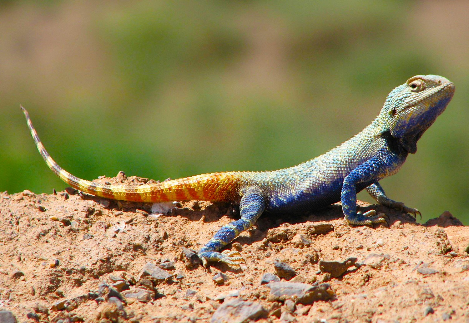 Brilliant ground agama in the Khar Turan National Park