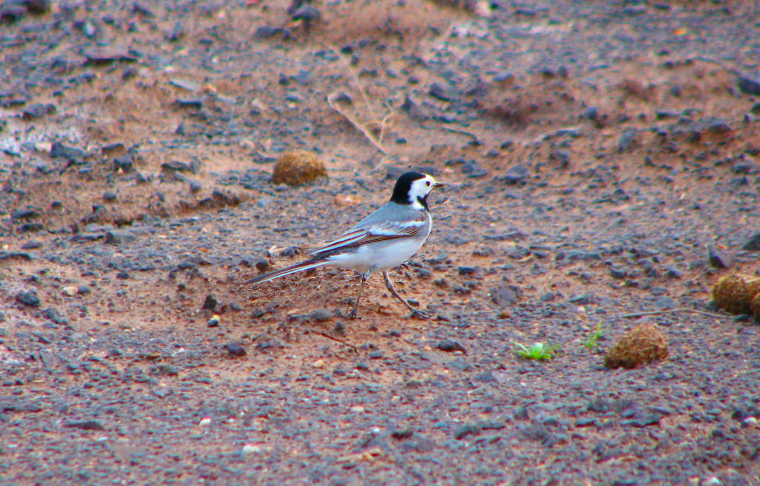 The white Wagtail in Khar Turan National Park Shahrood, Semnan, Iran