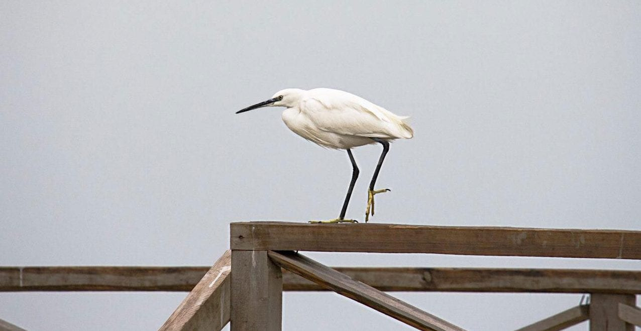 Little egret – Miankaleh Peninsula