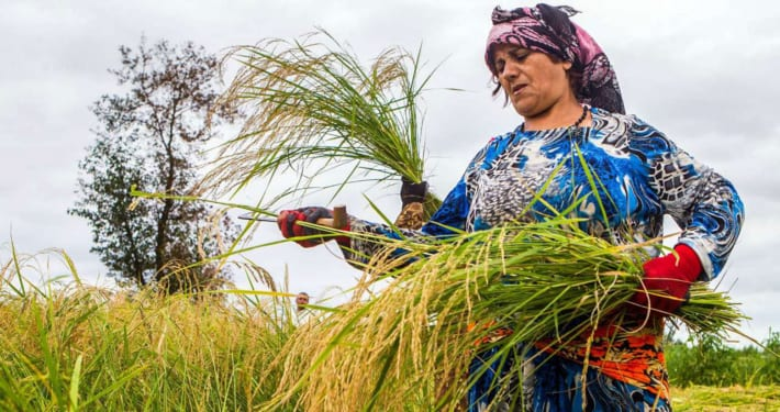Among The Rice Paddies of Iran – Gilan's Rice Season