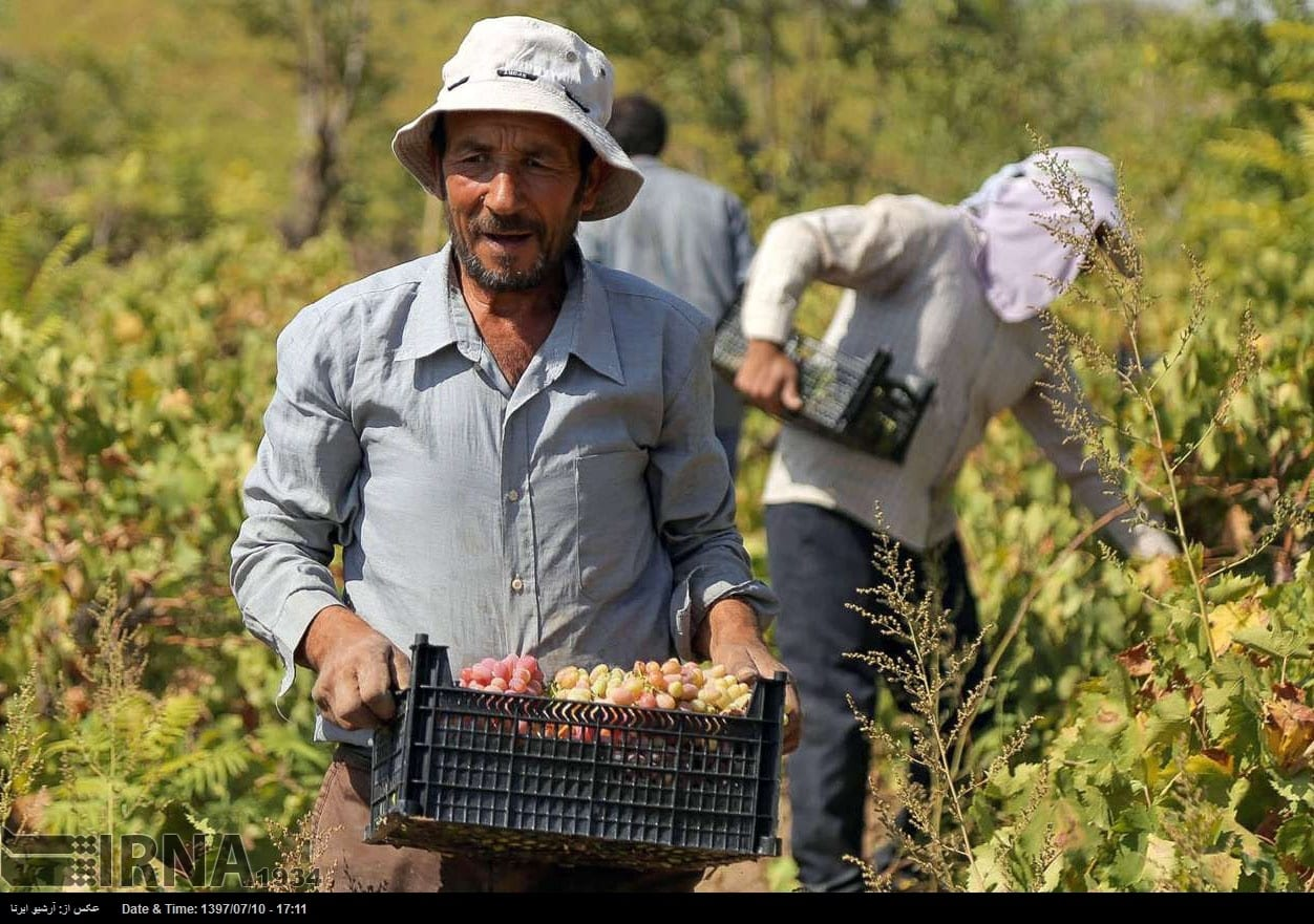 Grapes harvest in northeastern Iran