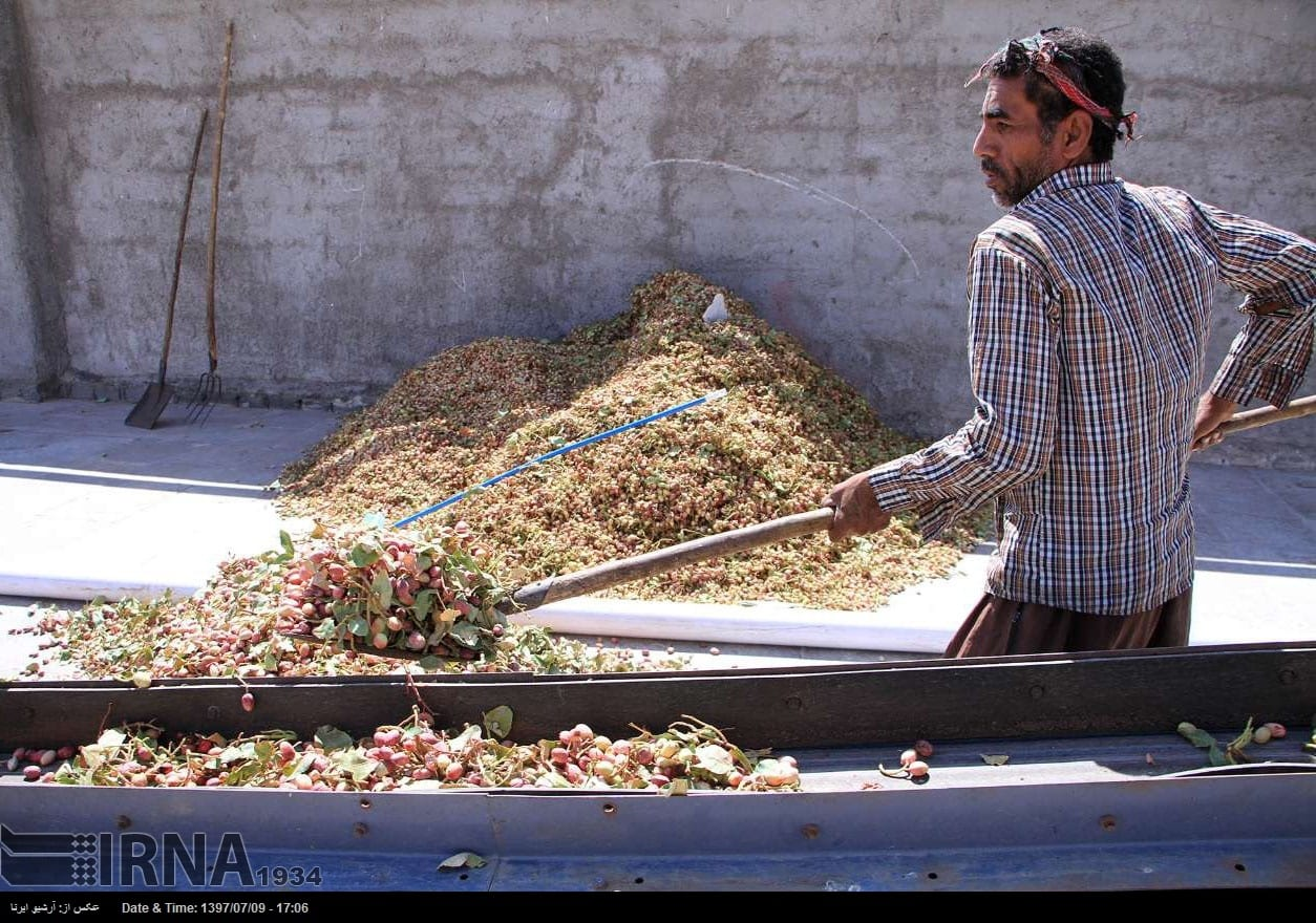 Pistachio harvest in central Iran