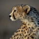 The Festival of Asiatic Cheetah